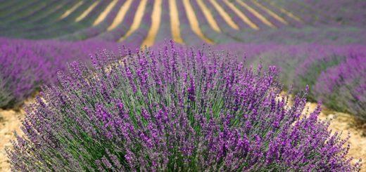 lavender-provence
